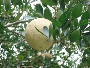 Beneficios de la limonia acidissima para la salud