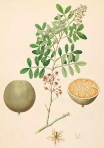 Beneficios de la limonia acidissima para la salud_1